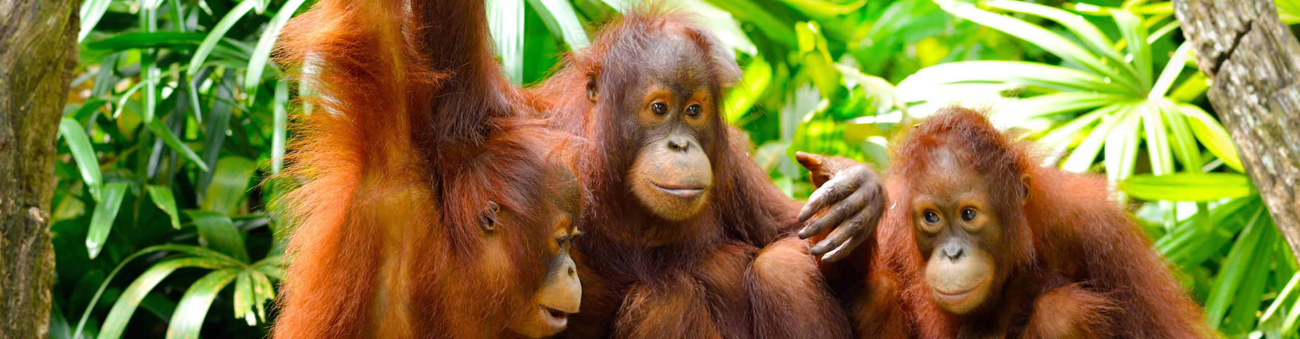 OrangutansDry